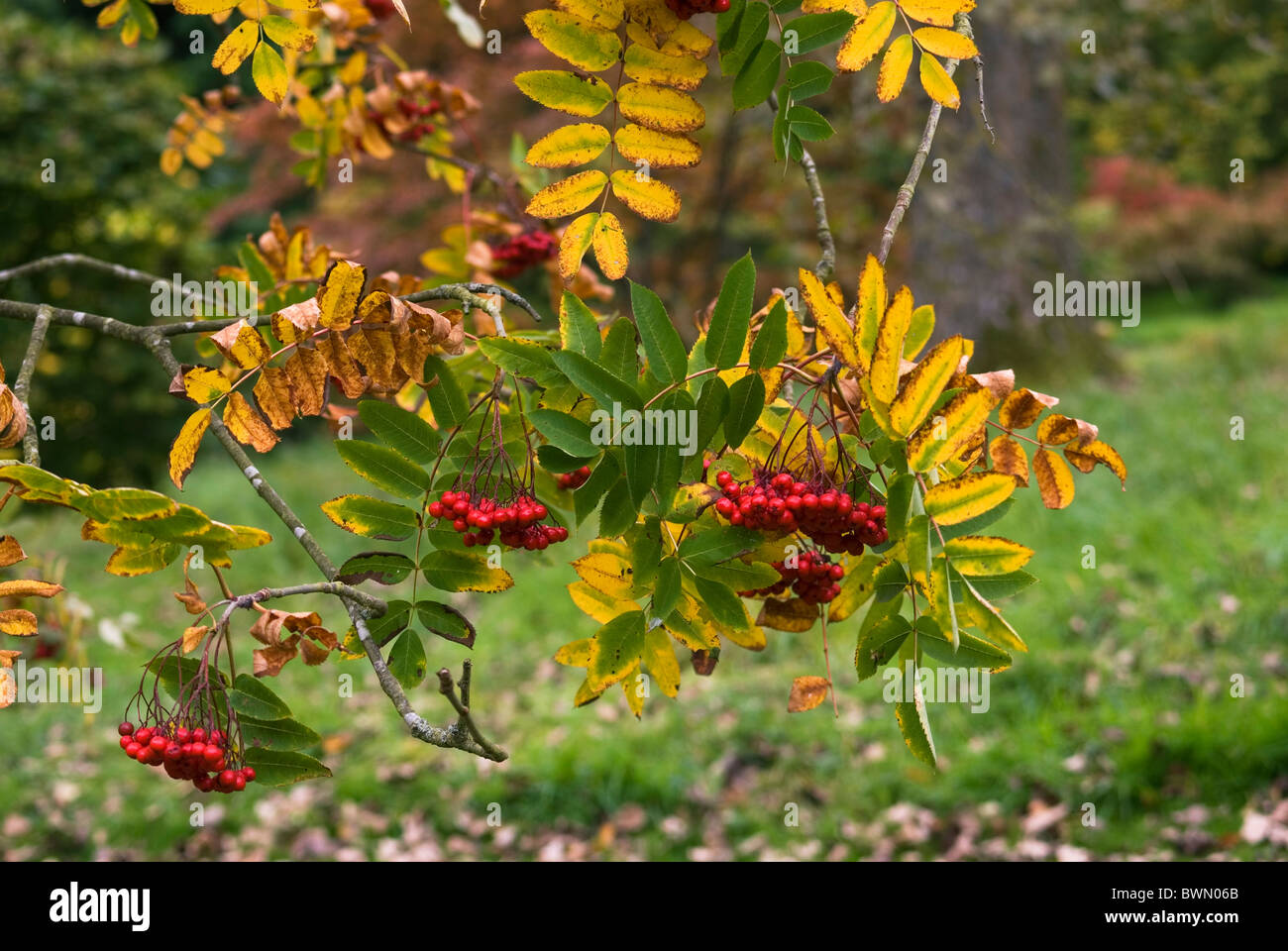 SORBUS DECORA SHOWY MOUNTAIN ASH WITH RED POMES OR BERRIES - Stock Image