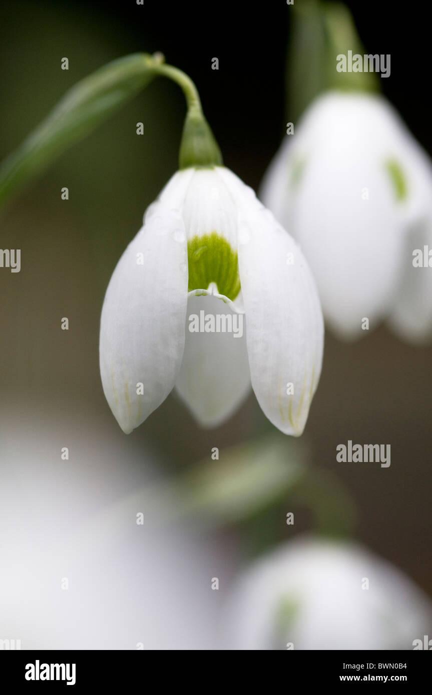 GALANTHUS OPHELIA SNOWDROP - Stock Image