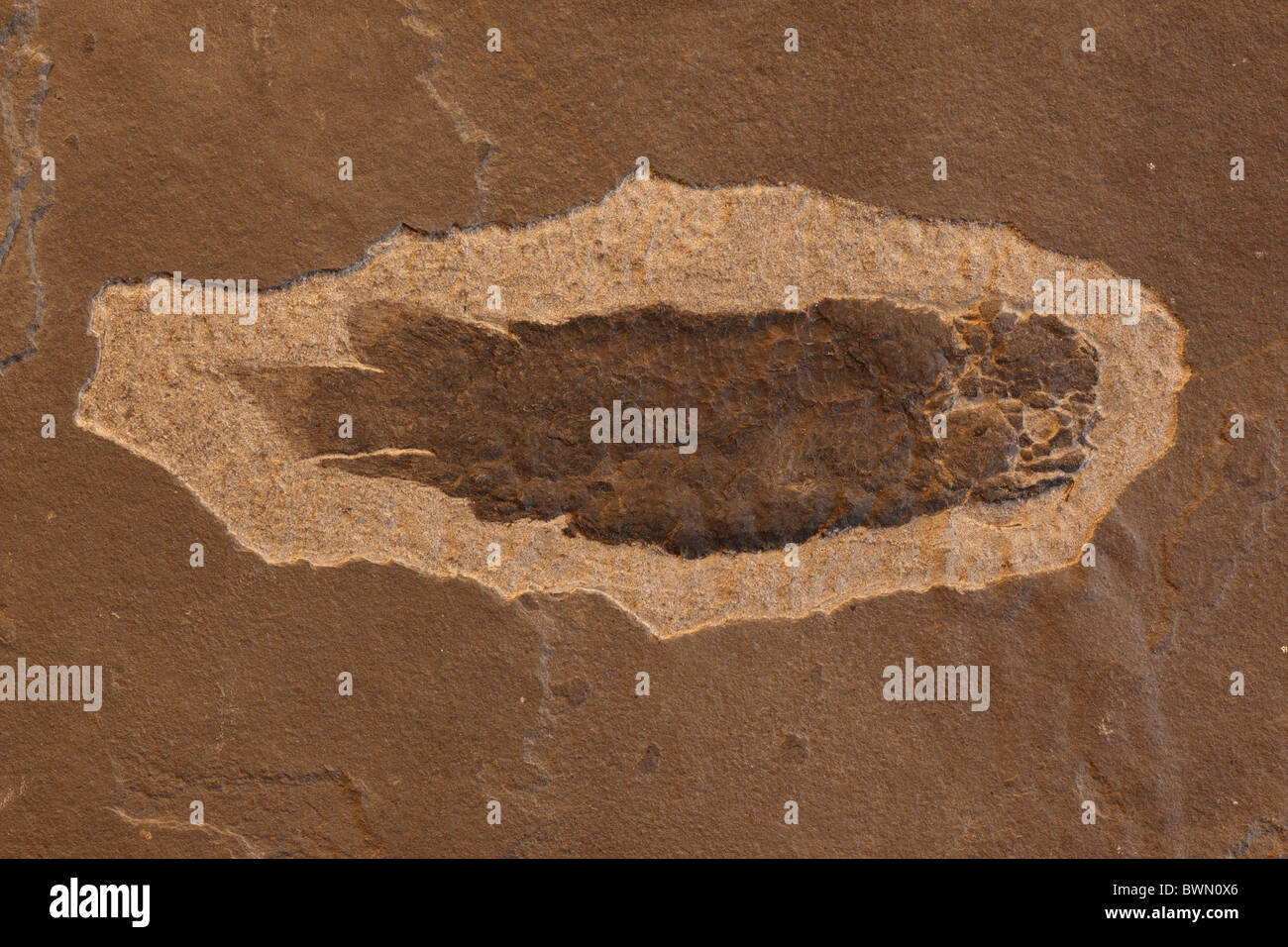 Fossil lungfish - Dipterus sp. - Mid Devonian - Caithness - Scotland - Stock Image