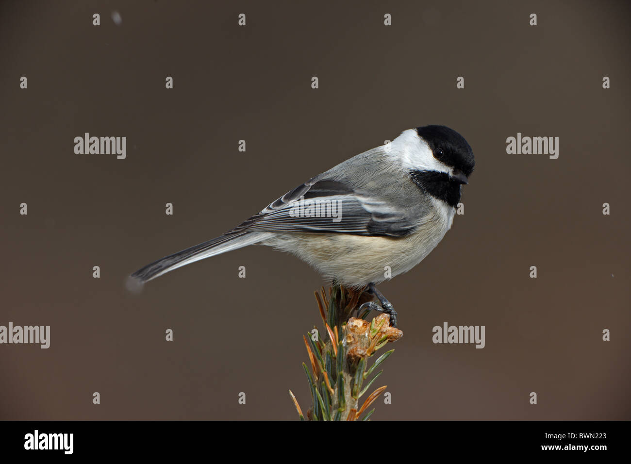 Black-capped Chickadee (Poecile atricapilla) Perched on treetop - Snow - New York - USA - Most widespread chickadee - Stock Image