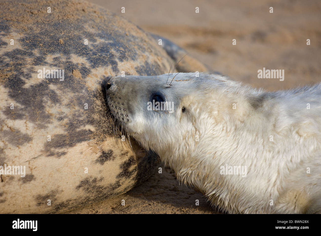 Grey Seal (Halichoerus grypus) - United Kingdom - Mother with young nursing on beach - Stock Image