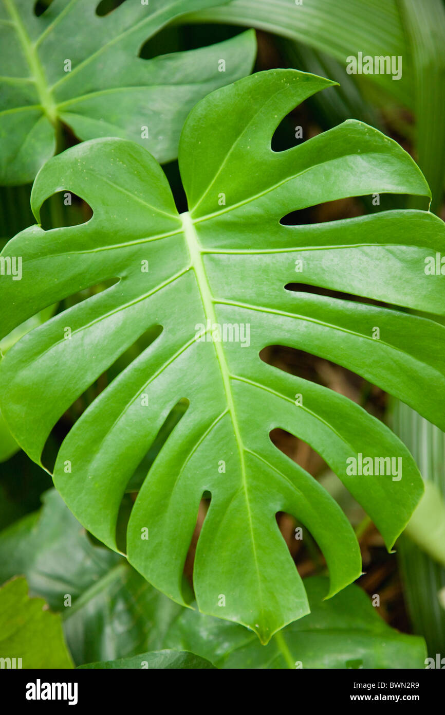 USA, Florida, St. Pete Beach, Close-up of Swiss Cheese Plant (Monstera deliciosa) green leaf - Stock Image