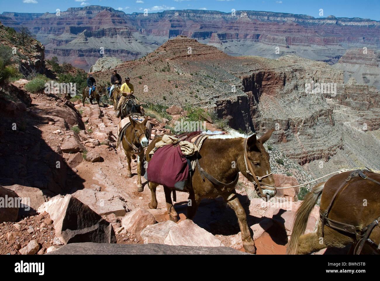Grand Canyon national park Arizona USA America United States North America mules trail animals path footpat Stock Photo