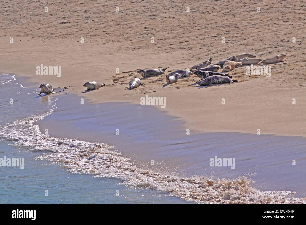 UK Scotland Common Seals on hebridean Island beach - Stock Image
