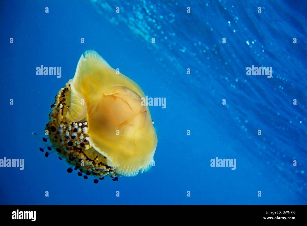 Fried Egg Jellyfish (Cotylorhiza tuberculata) swimming in blue waters, Mediterranean Sea, Europe - Stock Image