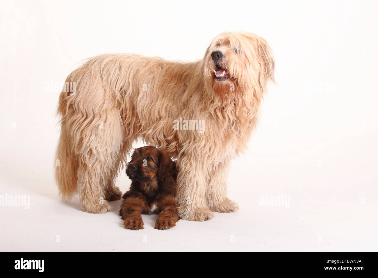 Mixed Breed Dog (Briard crossbred) and Briard, puppy, 9 weeks / Berger de Brie - Stock Image