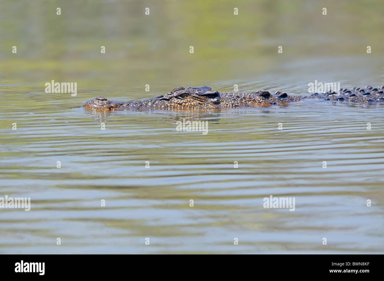 Crocodile swimming in the East Alligator River, Kakadu ,Top End, Northern Territory ,Australia - Stock Image