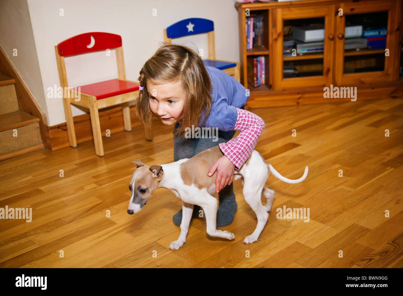 A little girl age 5 playing with her new whippet puppy - Stock Image