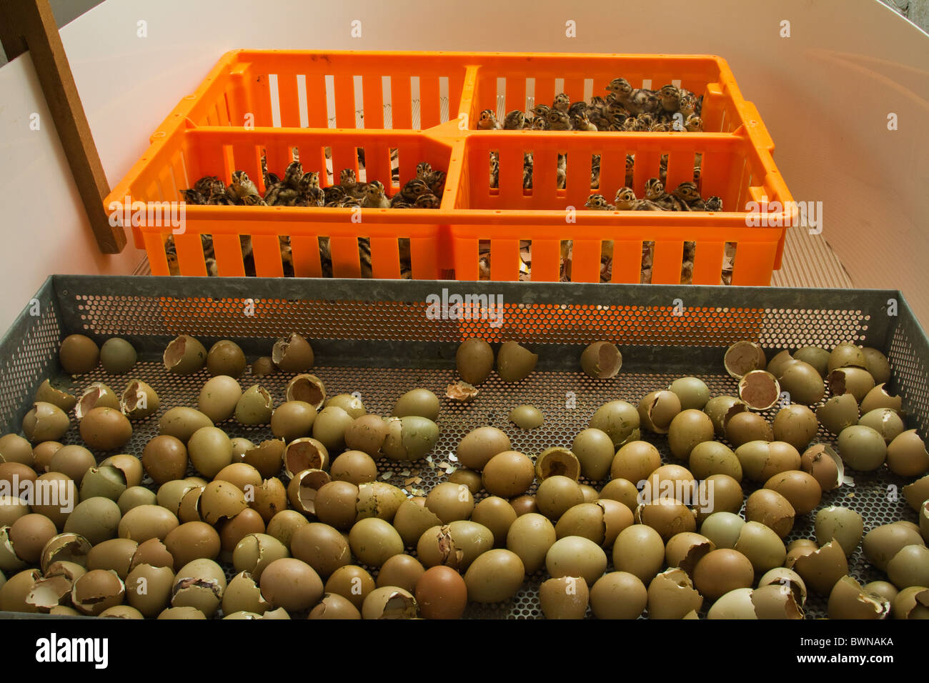 Newly hatched pheasant chicks being sorted on hatching day Stock Photo