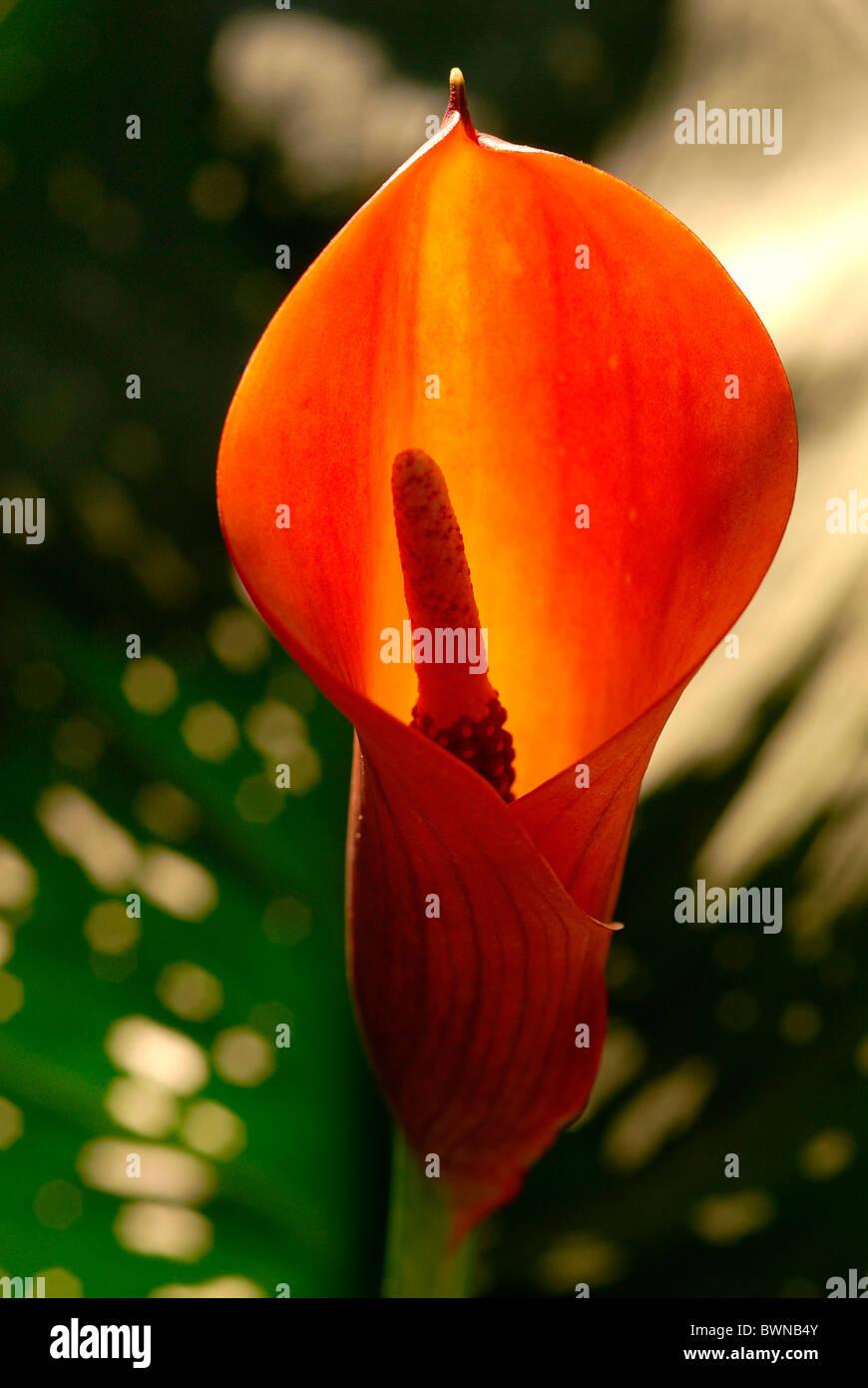 Zantedeschia Calla Araceae plant plants flower flowers flowering - Stock Image
