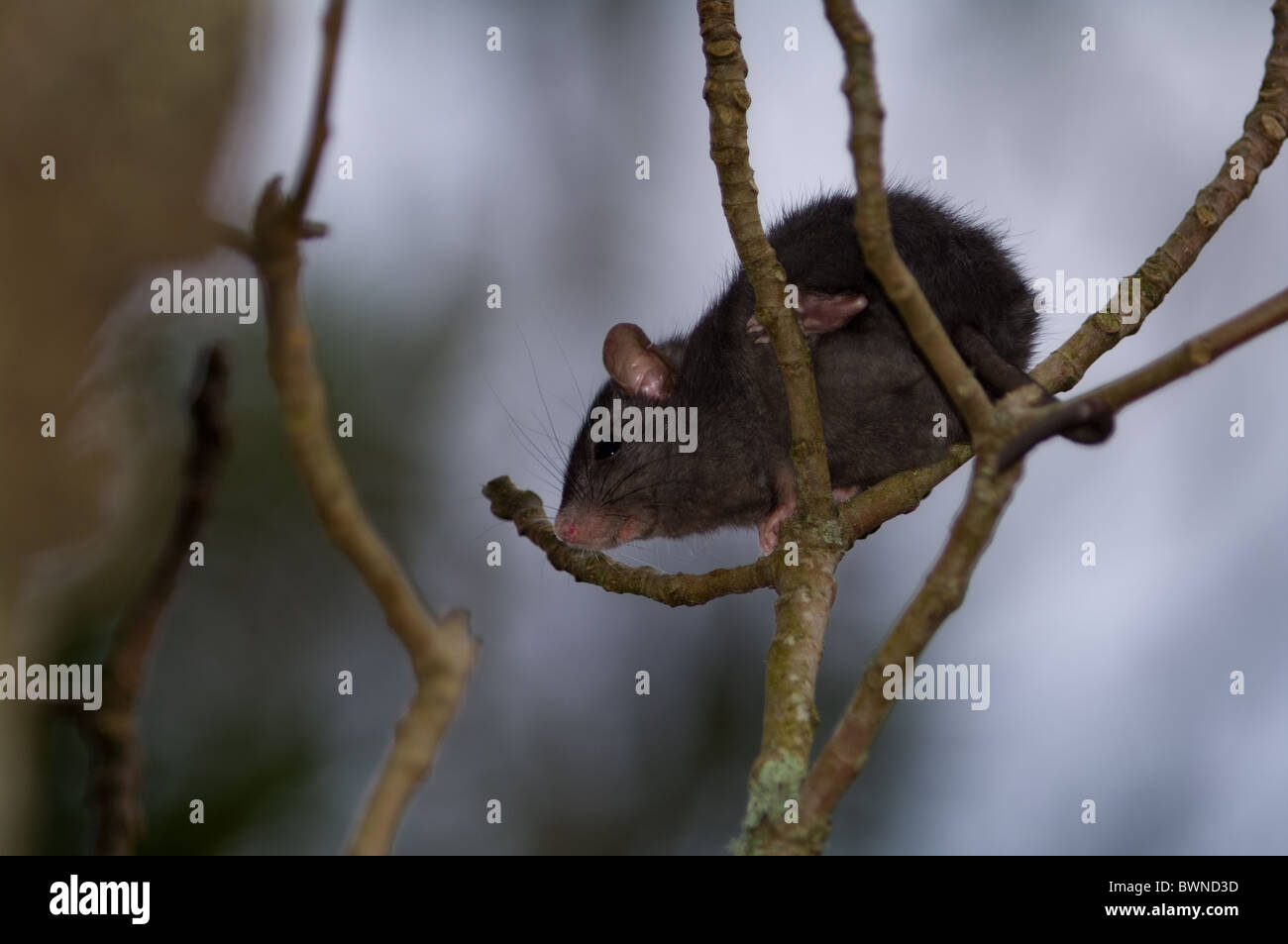 house mouse on a tree - Stock Image