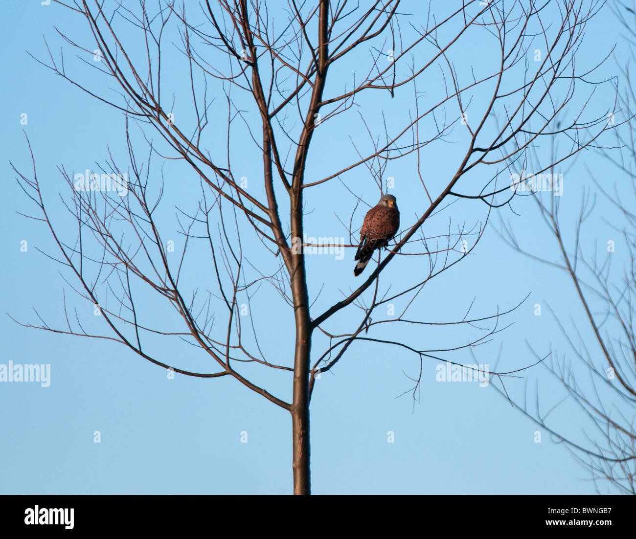 Wild Kestrel Perched in Tree - Stock Image