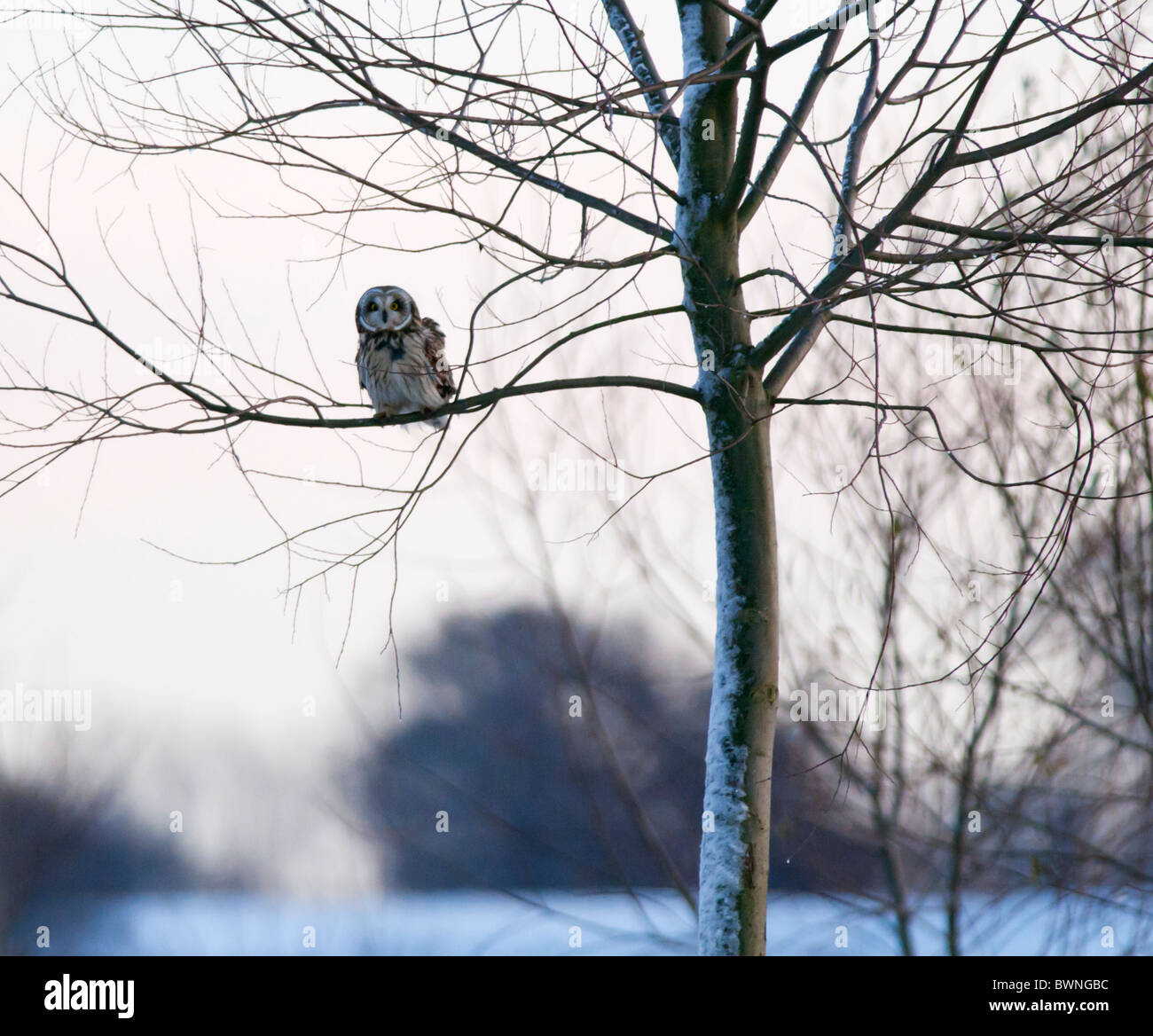 Wild Short Eared Owl perched in tree in Leicestershire - Stock Image