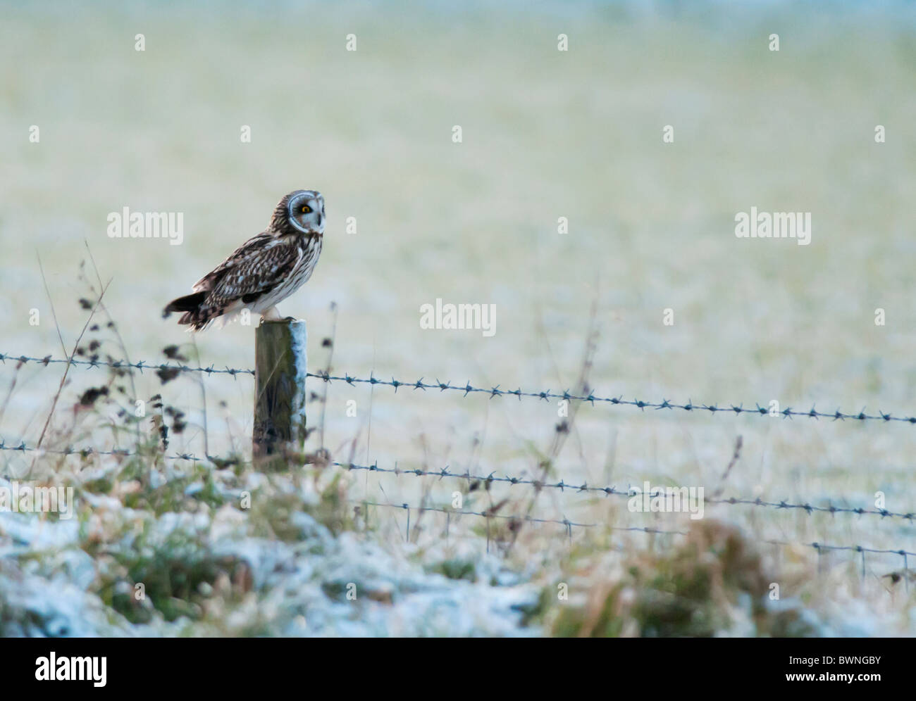 Wild Short Eared Owl perched on wooden fence post in Leicestershire Stock Photo