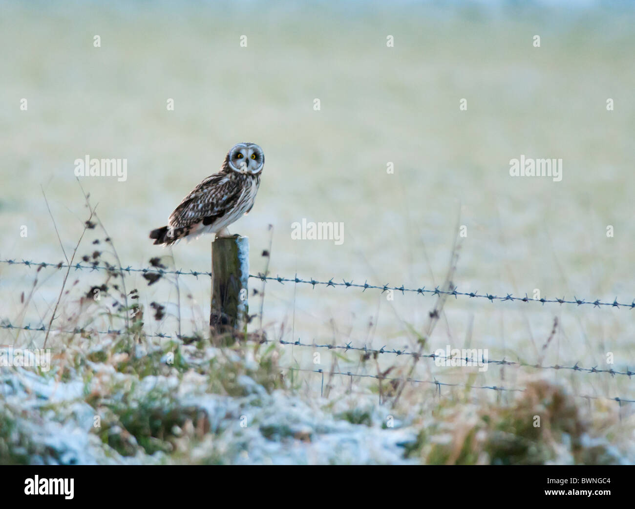 Wild Short Eared Owl perched on wooden fence post in Leicestershire - Stock Image