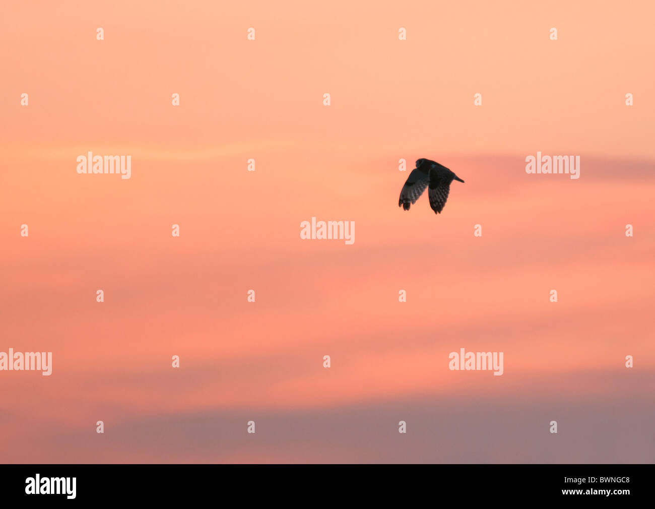 Wild Short Eared Owl flying high against vivid sunset in Leicestershire - Stock Image