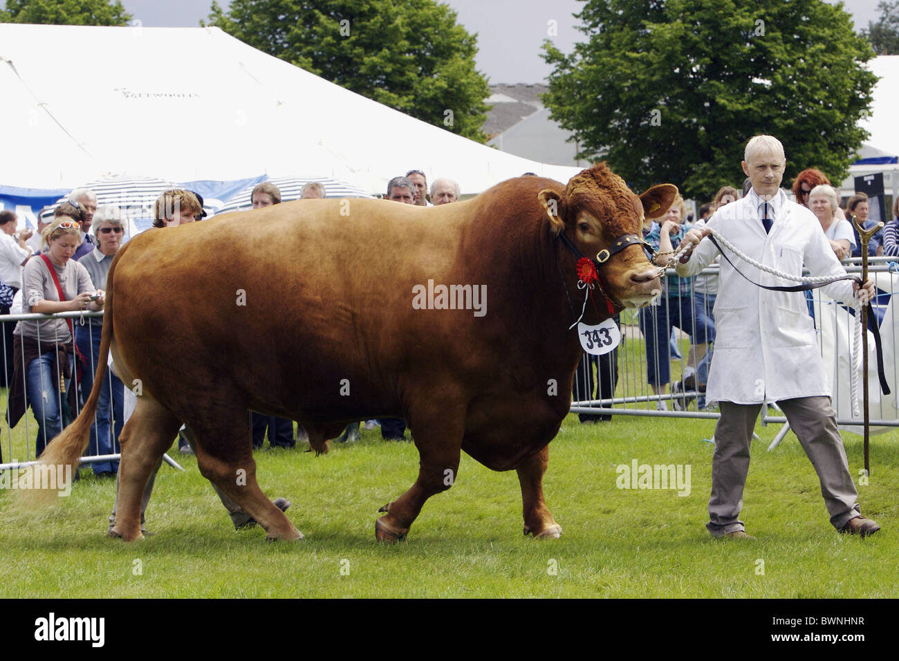 A South Devon Bull at the Three Counties Show in its 50th year at the Malvern Showground in Worcestershire - Stock Image