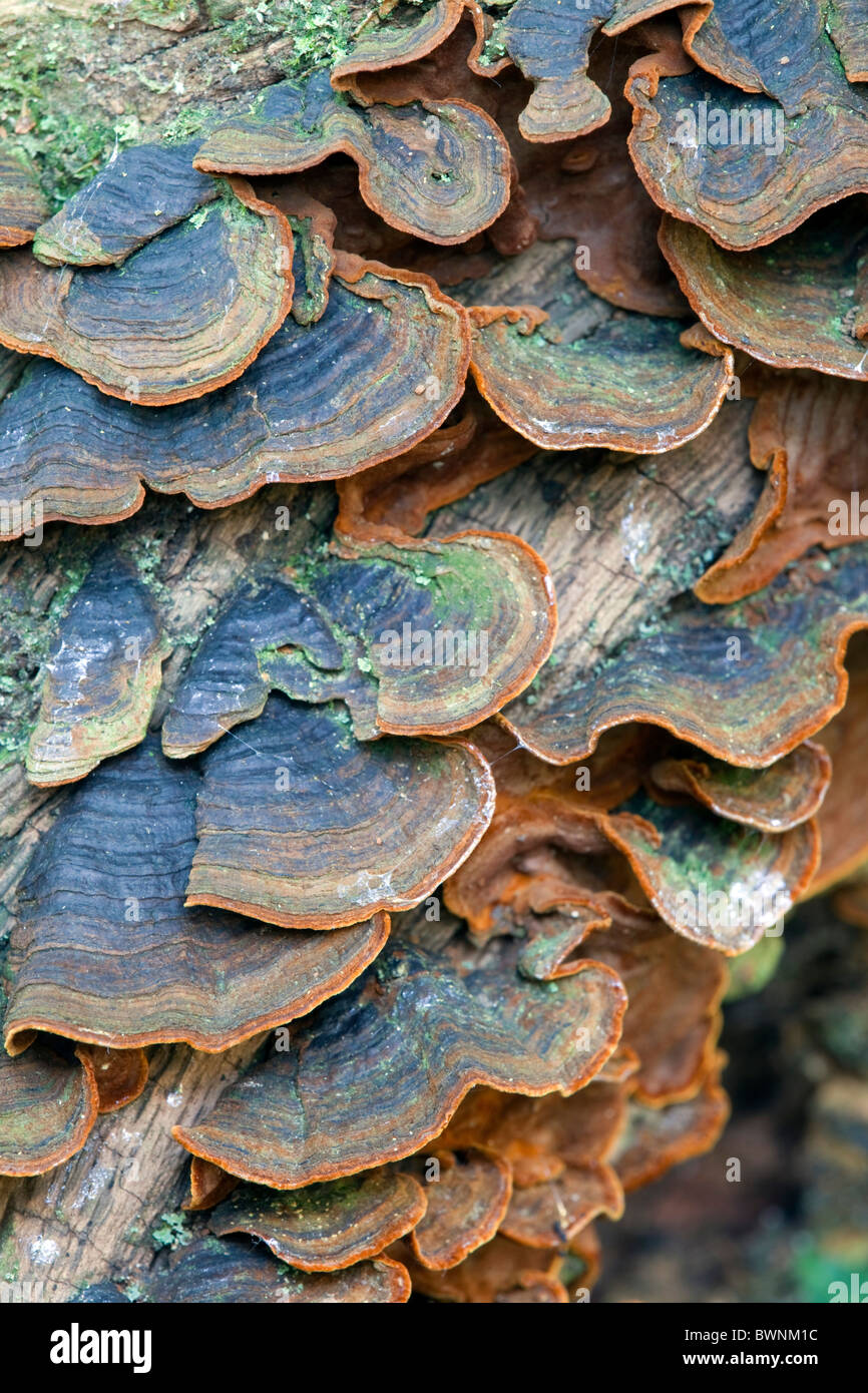 Many Zoned Polypore; Treametes versicolor - Stock Image