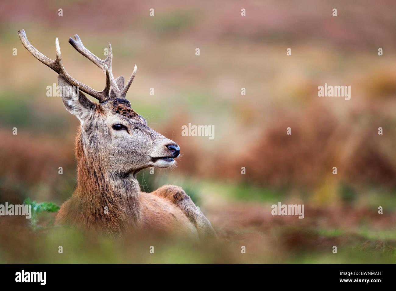 Red Deer; Cervus elaphus; stag; autumn - Stock Image