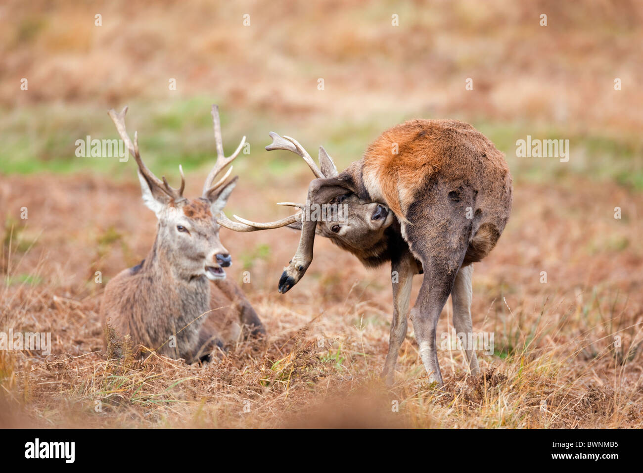 Red Deer; Cervus elaphus; stag grooming - Stock Image
