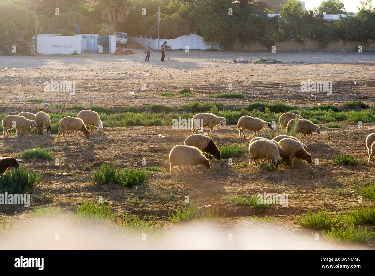 Tunisian shepherds and their flock of sheep - Stock Image