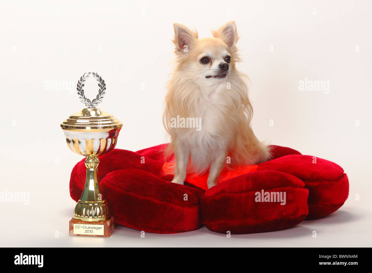 Chihuahua, longhaired, with cup / trophy, cushion, show dog, dog show - Stock Image
