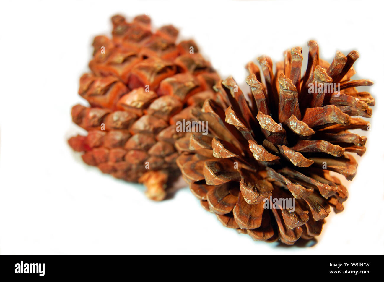 two pine cones at christmas - Stock Image