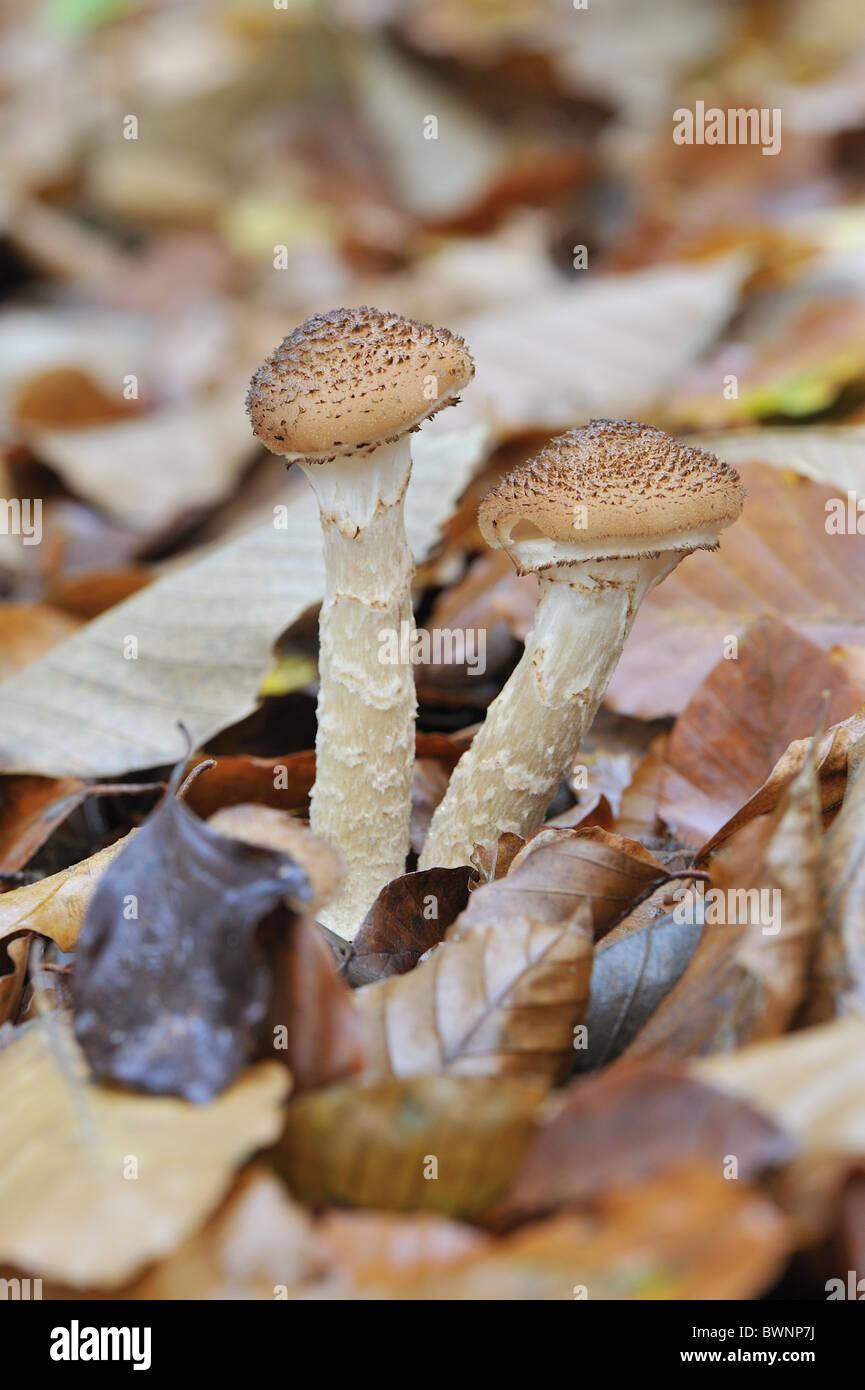 Honey mushroom - Honey fungus (Armillaria mellea) - Pathogenic and parasitic on the wood of hardwoods - Belgium - Stock Image