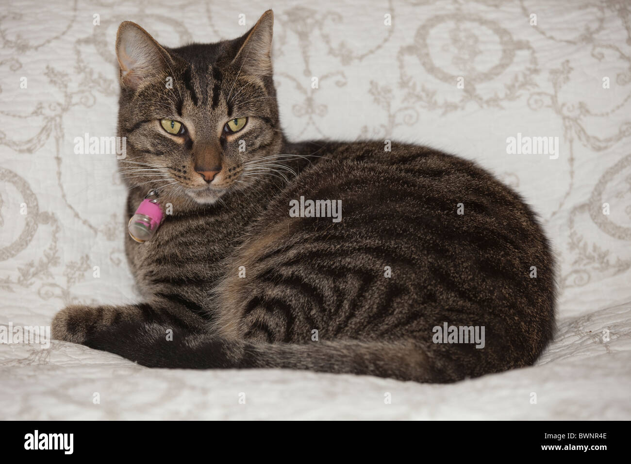 Portrait tabby cat lying on bed UK Stock Photo