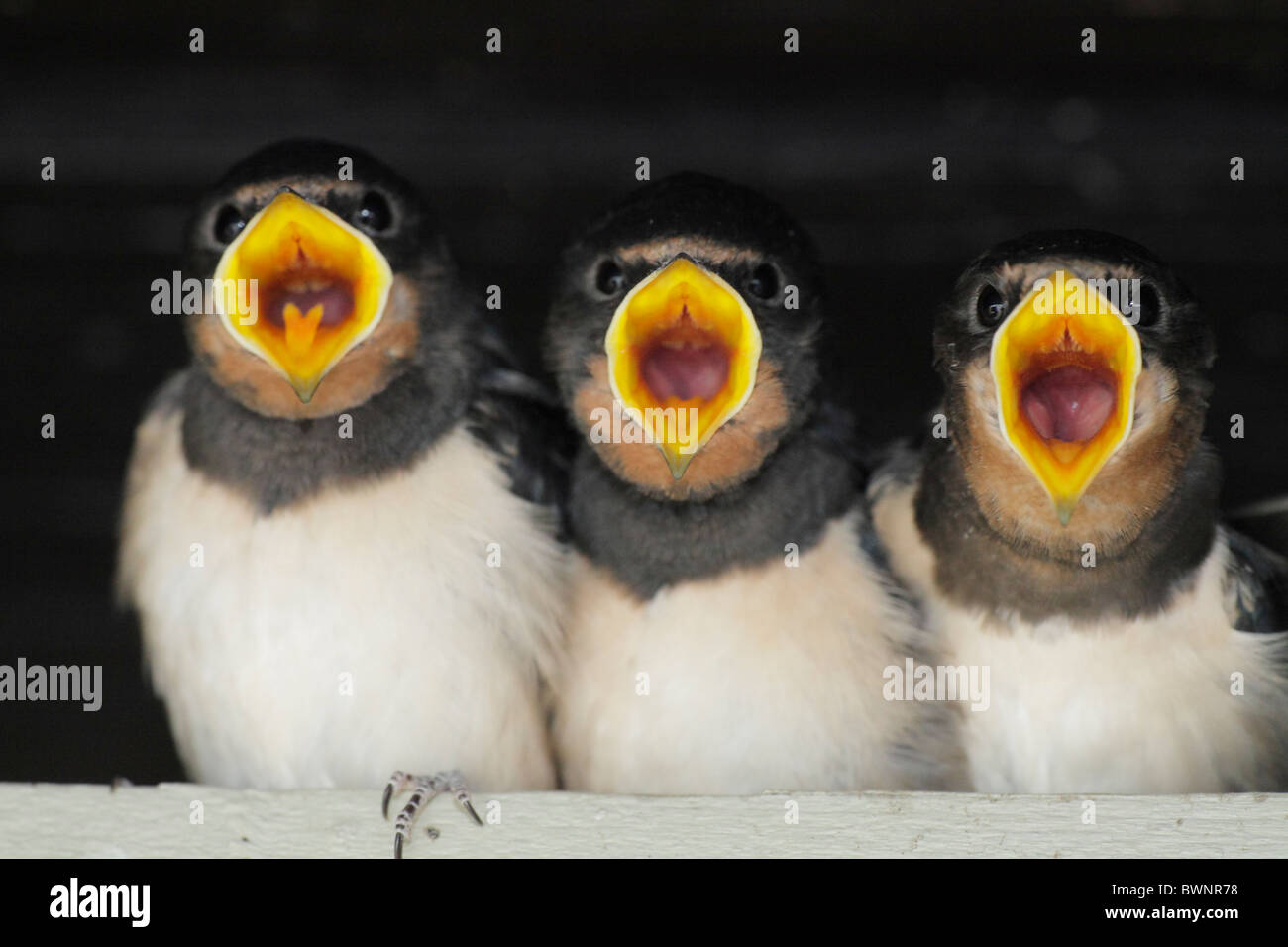 young swallows crying for food; Hirundinidae - Stock Image