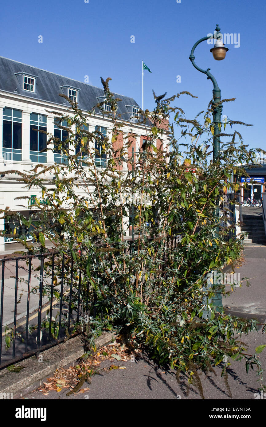Buddleia growing wild on the City Wall in Canterbury - Stock Image