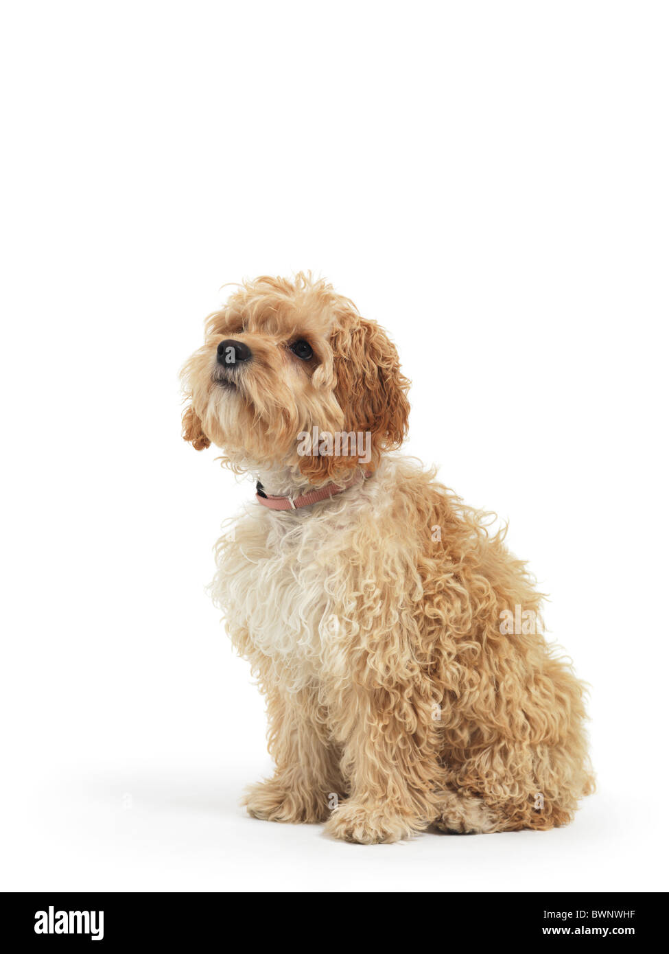 Cockapoo cute cross breed dog of cocker spaniel and a poodle isolated on white background Stock Photo