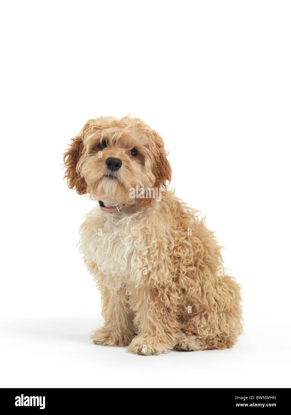 Cockapoo cute cross breed dog of cocker spaniel and a poodle isolated on white background - Stock Image