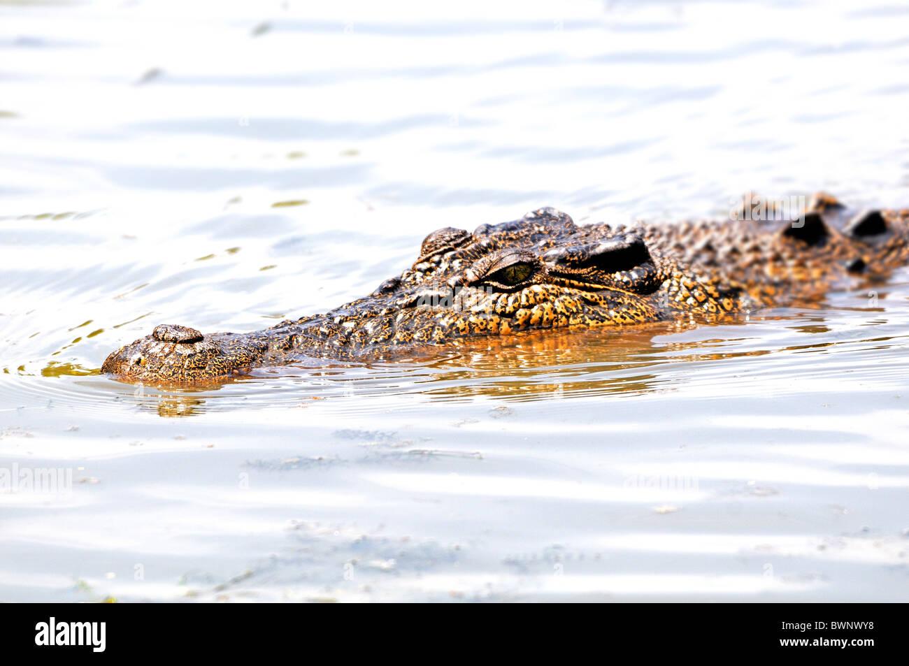 Crocodile swimming in East Alligator River, Kakadu, Top End, Northern Territory, Australia - Stock Image