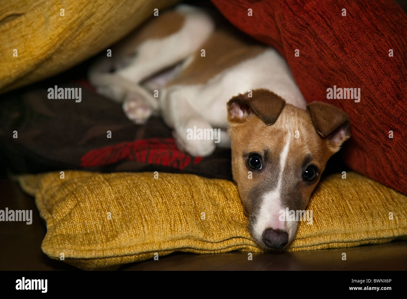 A whippet cross puppy lying on a cushion - Stock Image