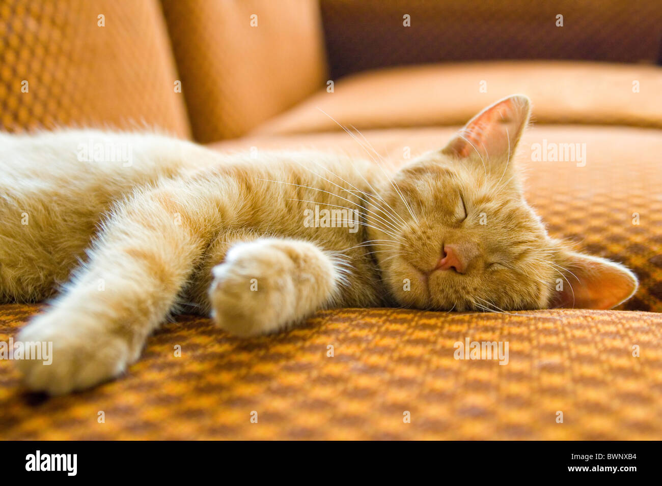 the ginger cat sleeping on couch - Stock Image