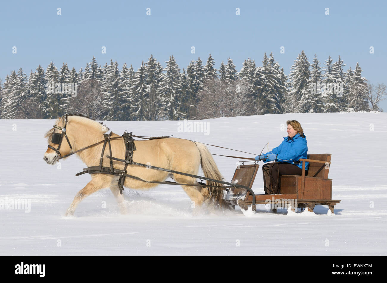 Norwegian horse drawing a sleigh - Stock Image