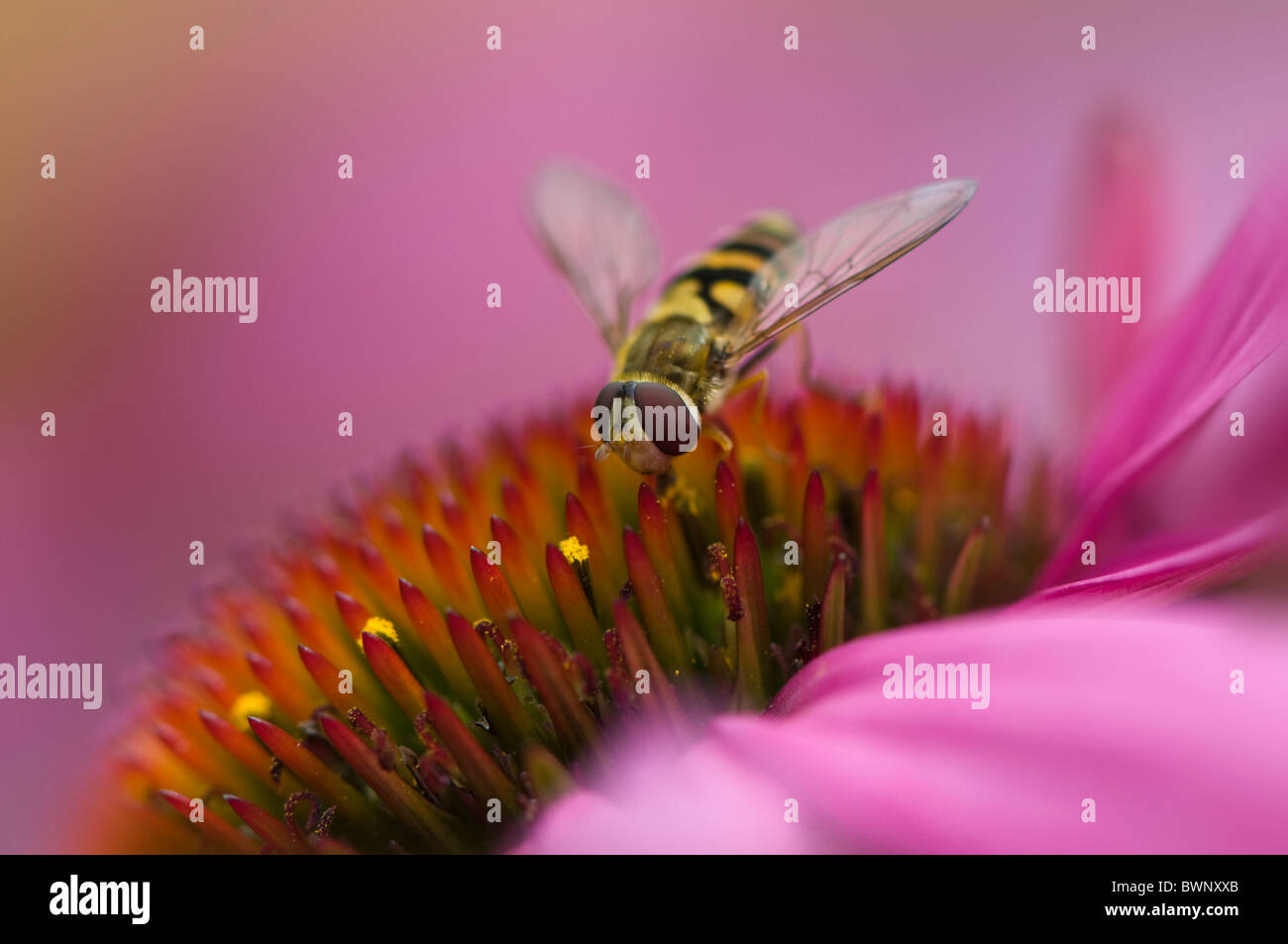 Close-up image of a Hoverfly - pisyrphus balteatus  collecting pollen on a summer cone flower - Echinacea purpurea. - Stock Image