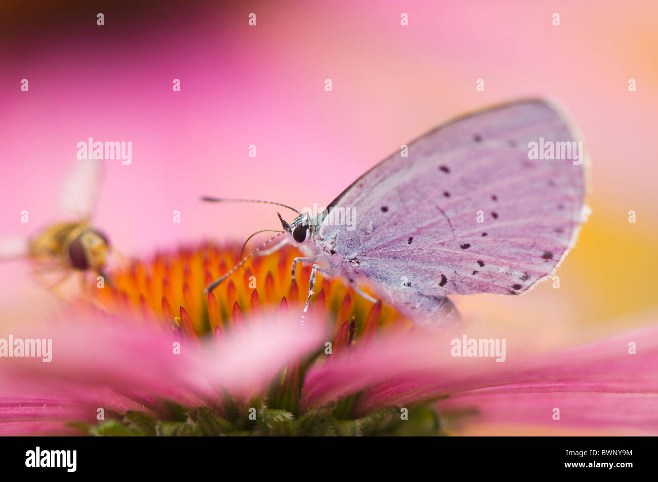 A single common blue butterfly - Polyommatus icarus on a purple cone flower - echinacea purpurea with a hoverfly - Stock Image