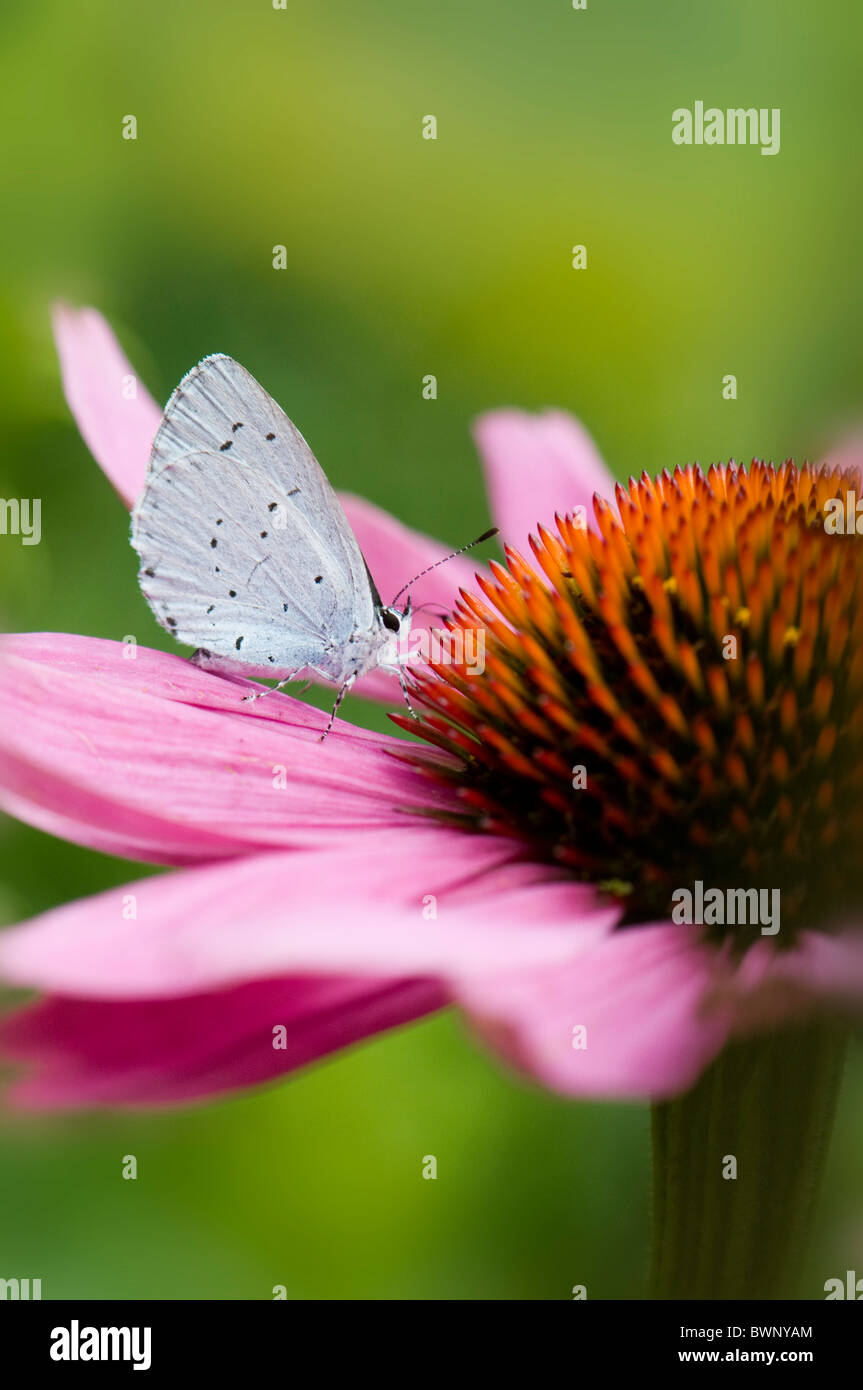 A single common blue butterfly - Polyommatus icarus on a purple cone flower - echinacea purpurea - Stock Image