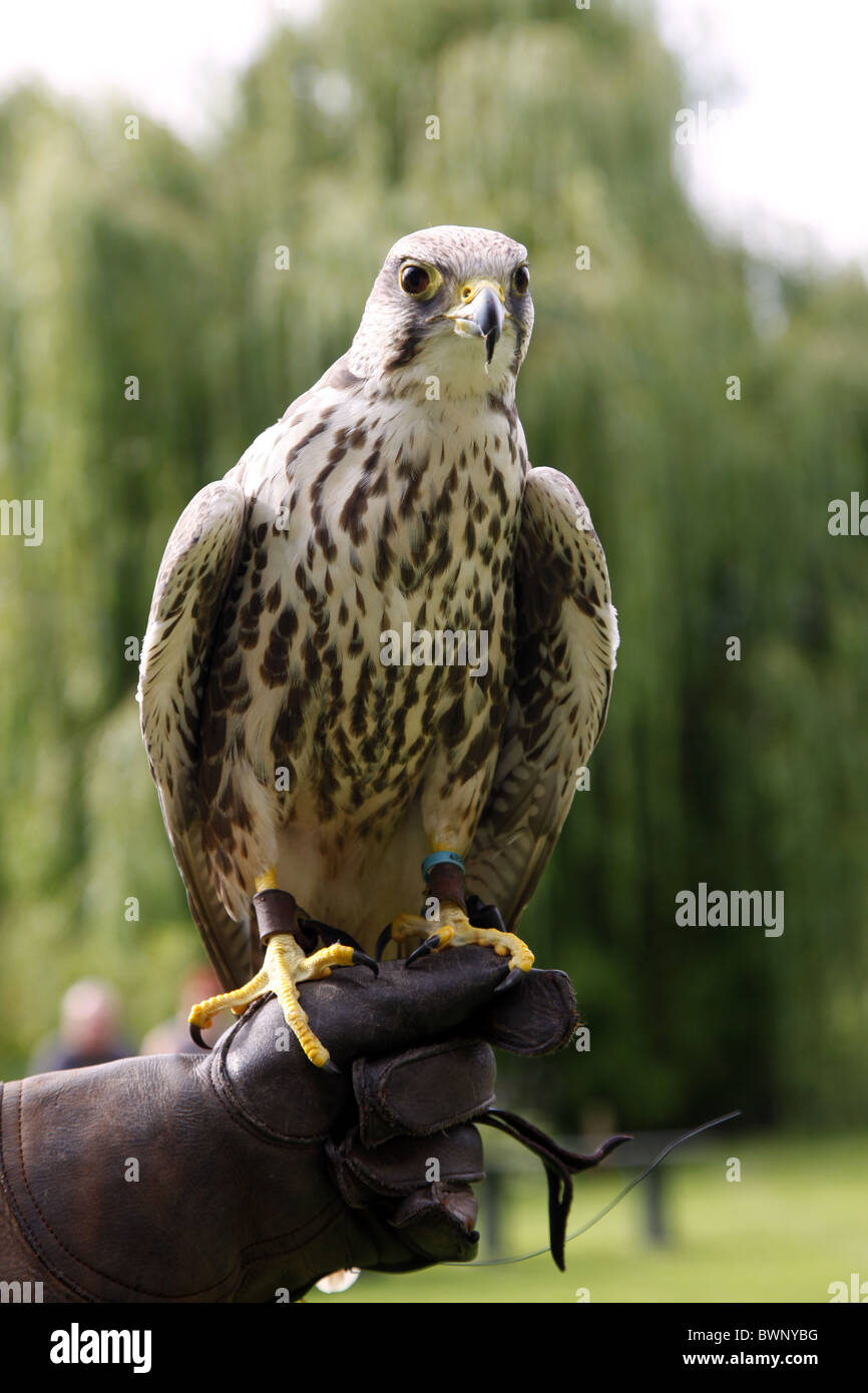 PEREGRINE FALCON GLOVE FALCONRY YORK SUTTON-ON-THE-FOREST YORK NORTH YORKSHIRE SUTTON-ON-THE FOREST YORK 21 August - Stock Image