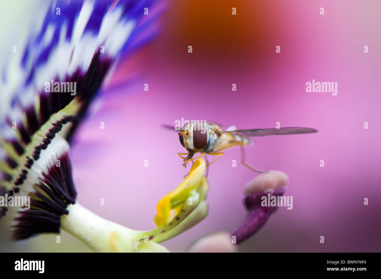 A single hover fly - flower fly or syrphid fiy collecting pollen from a Passion flower - Passiflora cerulea Caerulea - Stock Image