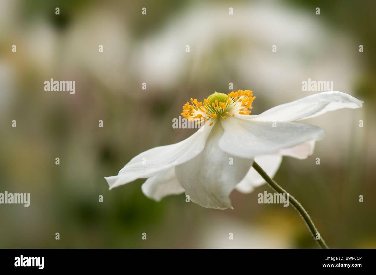 Japanese Anemone White Flower Anemone Honorine Jobert Stock