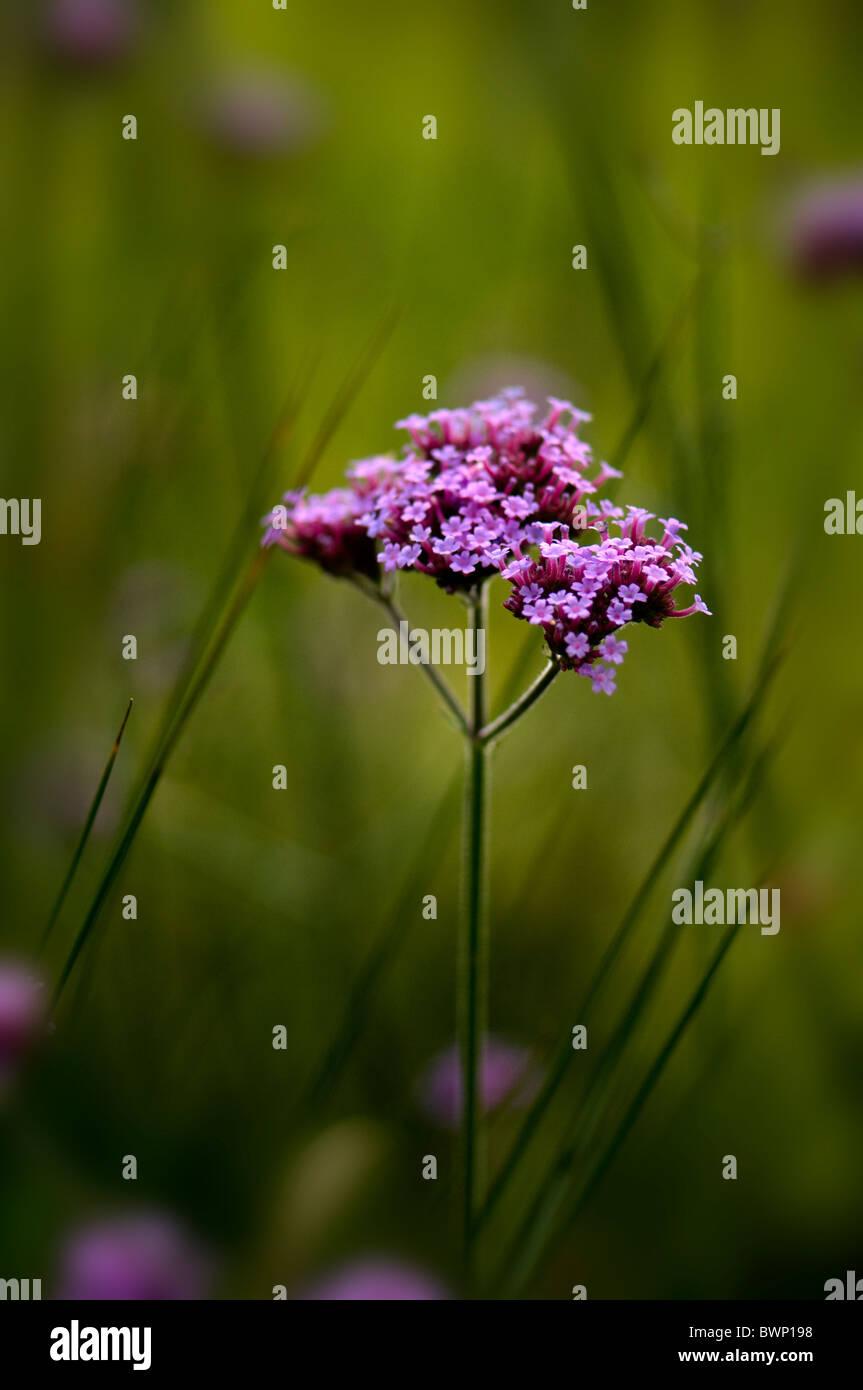Tiny purple flowers of Verbena bonariensis - Stock Image