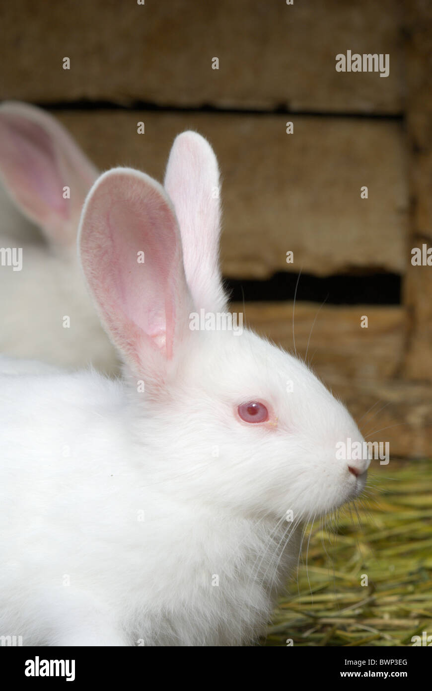 White Rabbit In Cage High Resolution Stock Photography and Images ...
