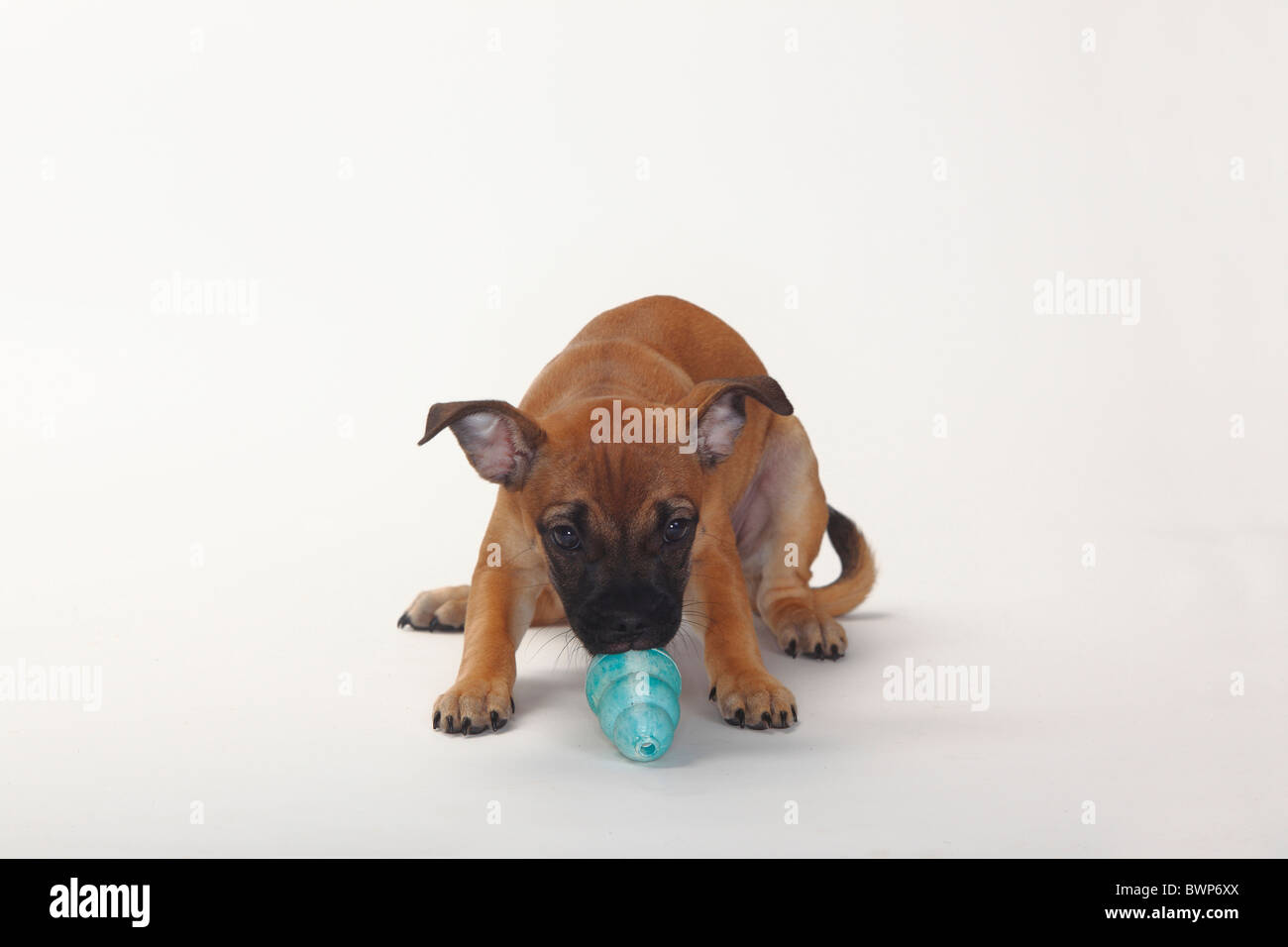 Mixed Breed Dog, puppy, 12 weeks / Pug crossbred, rubber chewing toy - Stock Image
