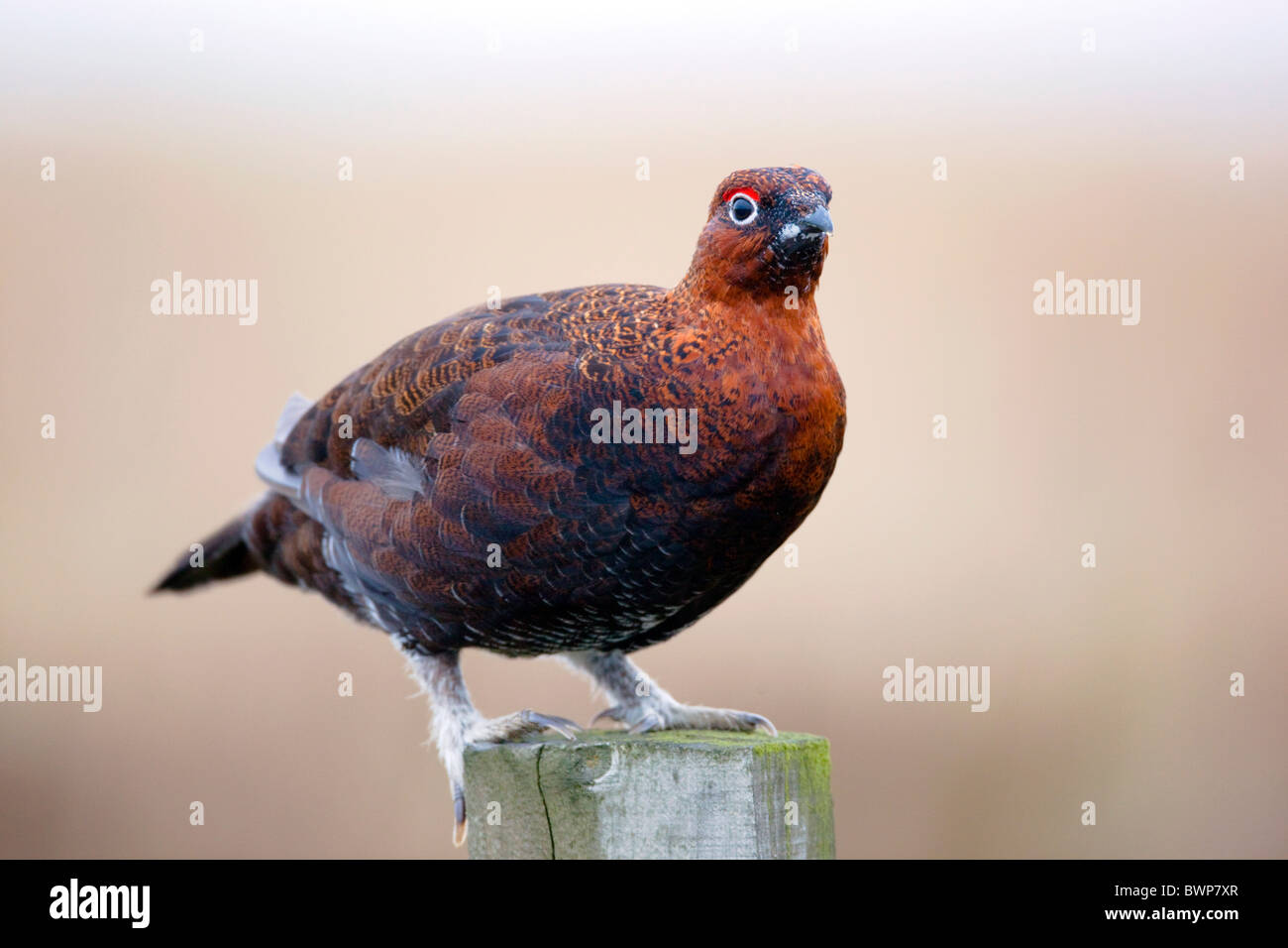 Red Grouse; Lagopus lagopus ssp scoticus; on fence post; Yorkshire - Stock Image