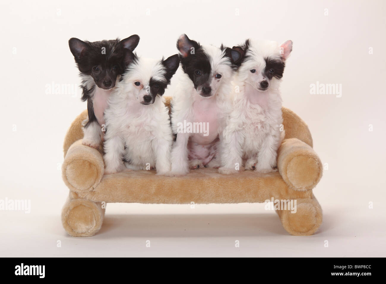 Chinese Crested Dogs, hairless and powderpuff, puppies, 9 weeks / powder puff, sofa, couch - Stock Image