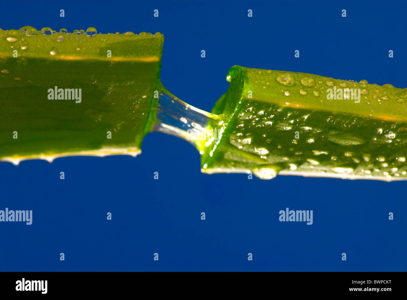 Aloe Vera Sap Juice Gel Succulent Leaf Section Medical plant Medicinal Medicine pharmaceutical ingredient A - Stock Image