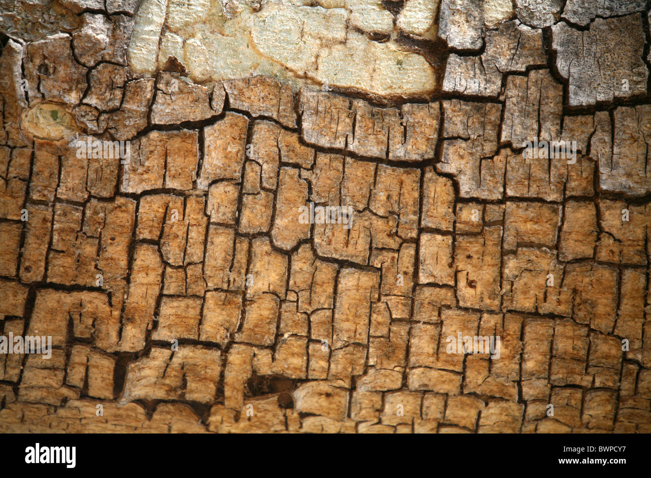 Namibia Africa Waterberg Summer 2007 Africa tree detal bark structure nature surface - Stock Image